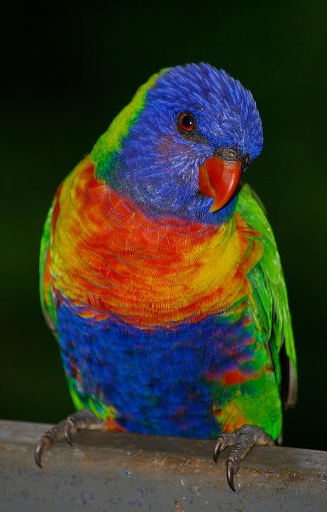 Rainbow Lorikeet svg #7, Download drawings