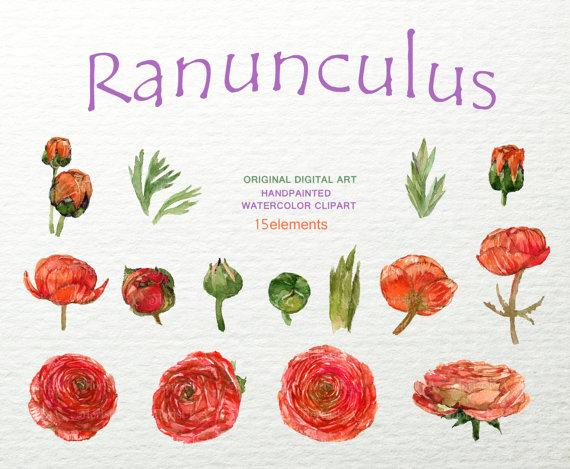 Ranuncula clipart #13, Download drawings
