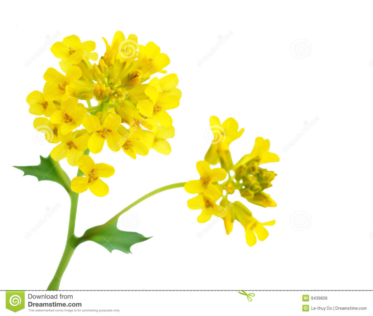 Rapeseed clipart #20, Download drawings