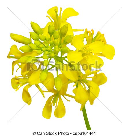 Rapeseed clipart #10, Download drawings