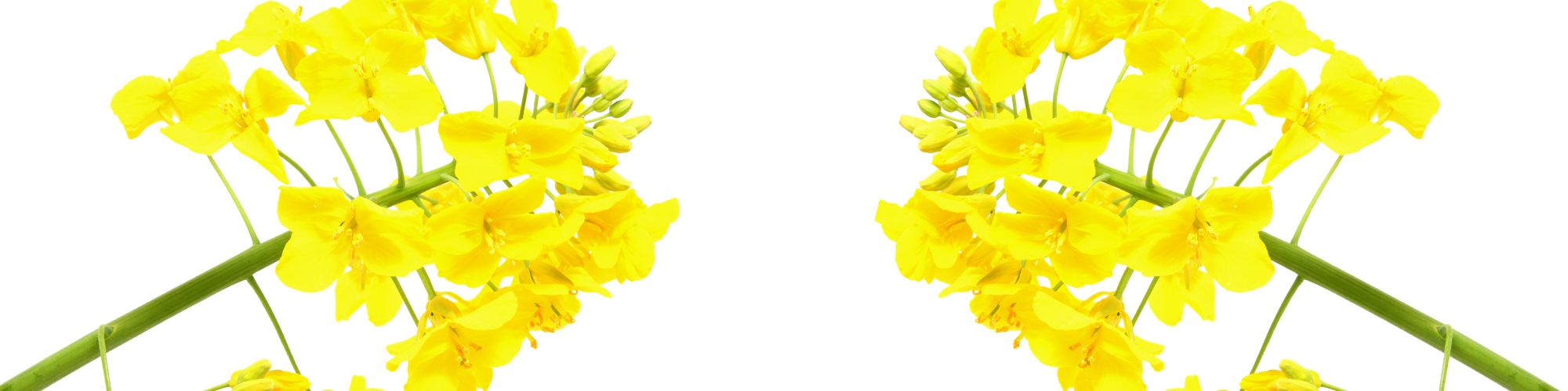 Rapeseed clipart #3, Download drawings