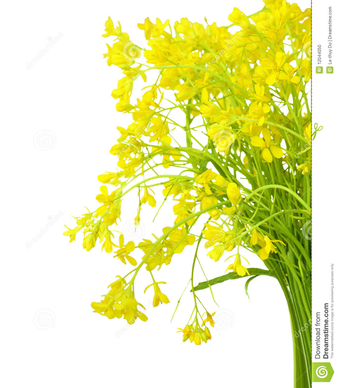 Rapeseed clipart #9, Download drawings