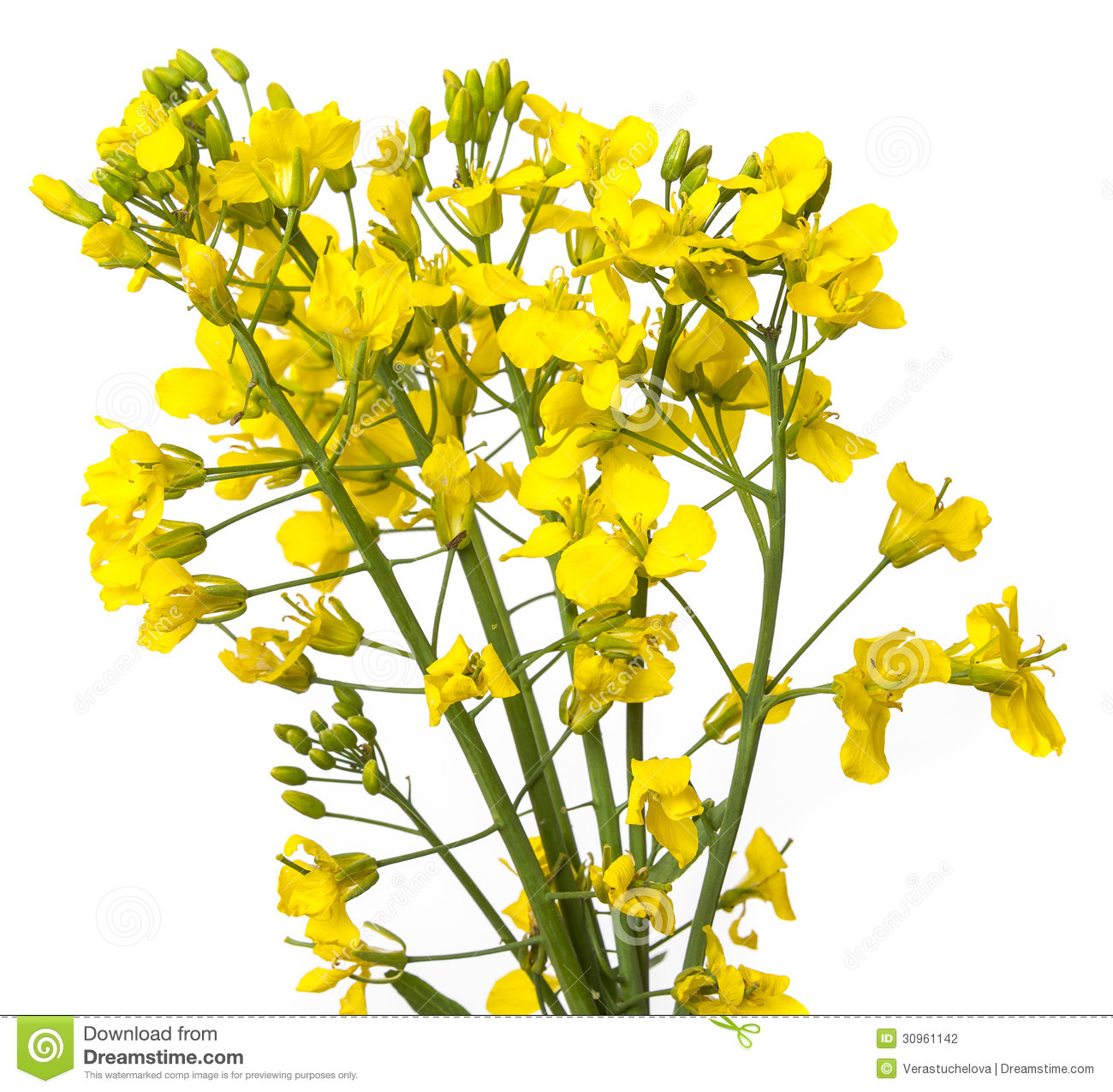 Rapeseed clipart #7, Download drawings