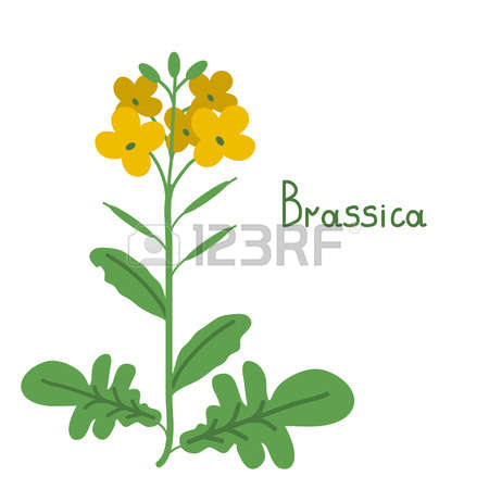 Rapeseed clipart #4, Download drawings