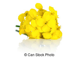 Rapeseed clipart #5, Download drawings