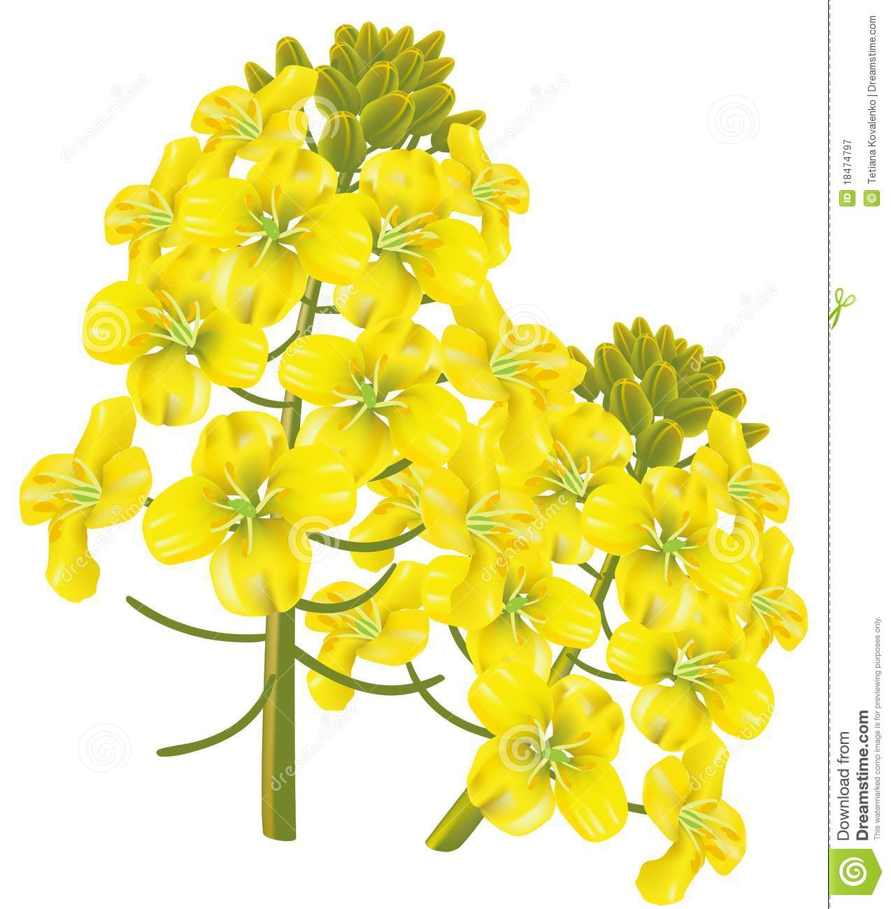 Rapeseed clipart #18, Download drawings