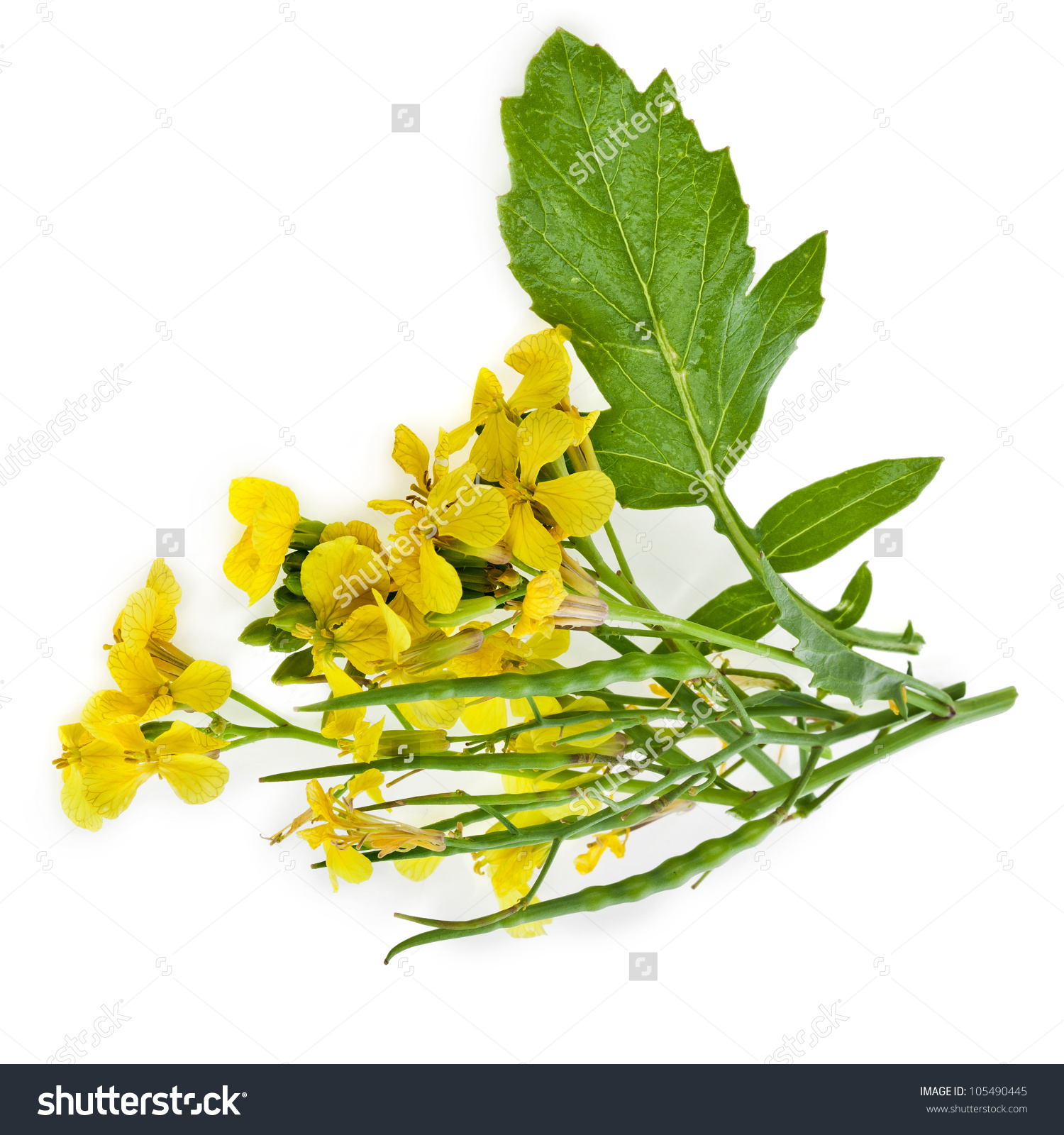 Rapeseed clipart #1, Download drawings