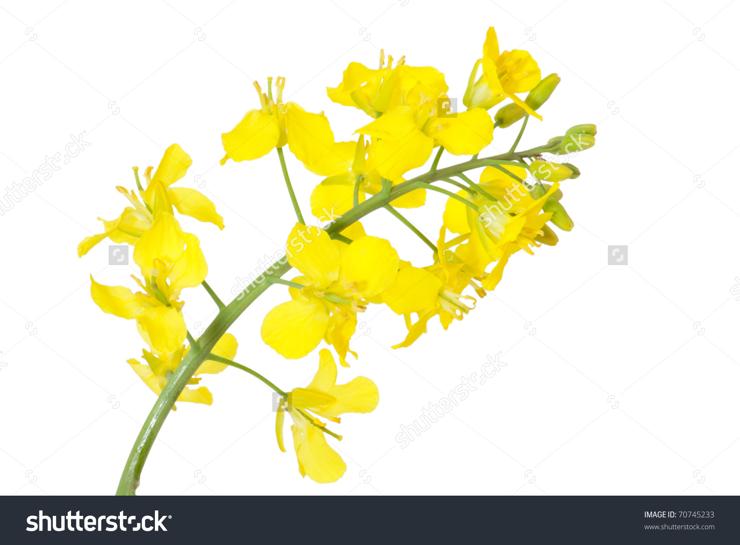 Rapeseed clipart #15, Download drawings