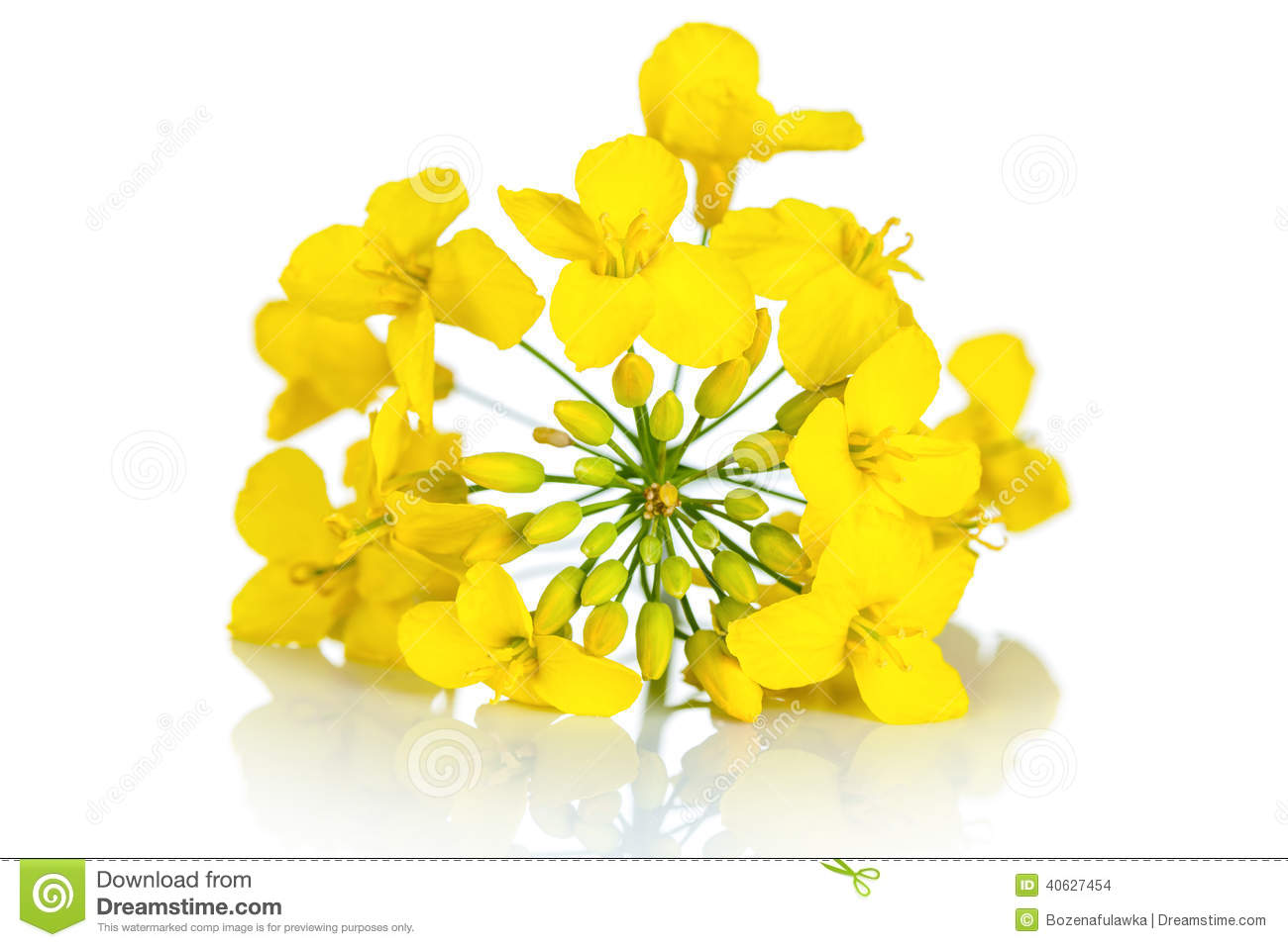 Rapeseed clipart #16, Download drawings