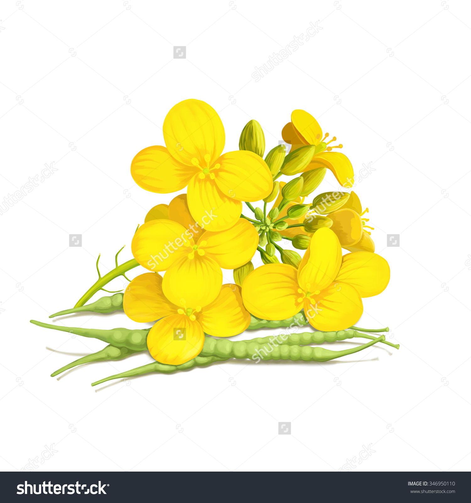 Rapeseed clipart #12, Download drawings