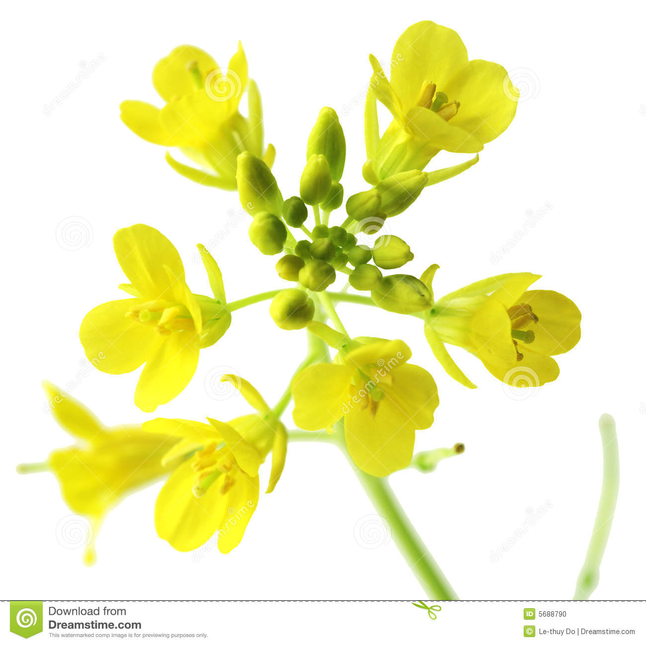 Rapeseed clipart #14, Download drawings