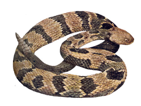 Rattlesnake clipart #13, Download drawings