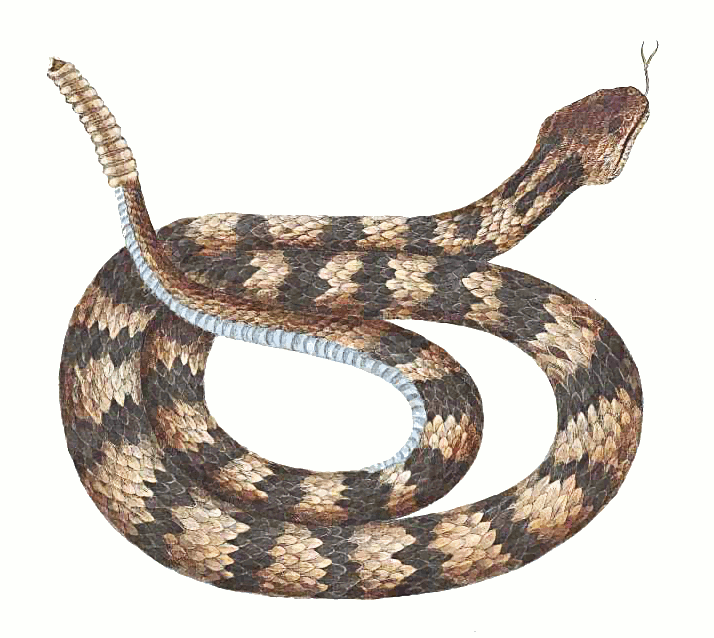 Rattlesnake clipart #5, Download drawings