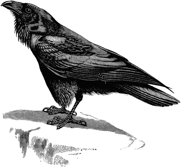 Raven clipart #7, Download drawings