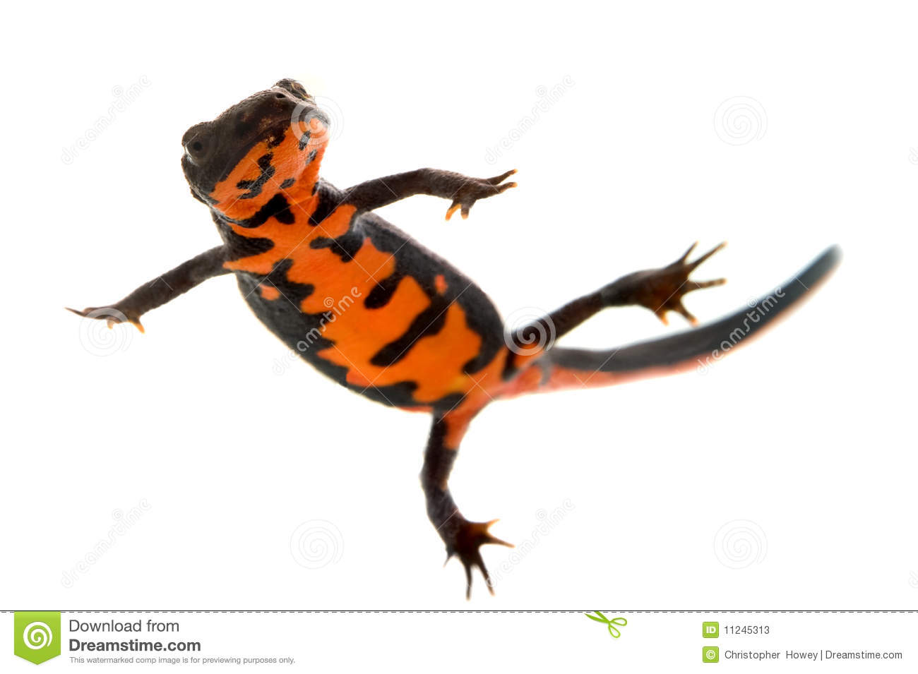 Red Bellied Newt clipart #20, Download drawings