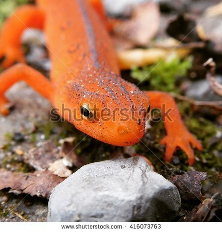 Red Bellied Newt clipart #4, Download drawings