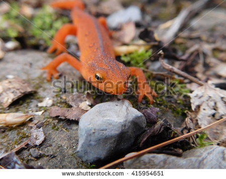 Red Bellied Newt clipart #10, Download drawings