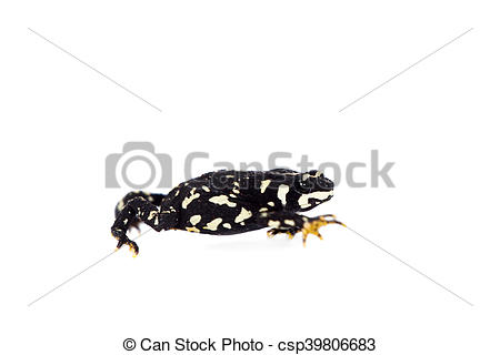 Red Bellied Newt clipart #2, Download drawings