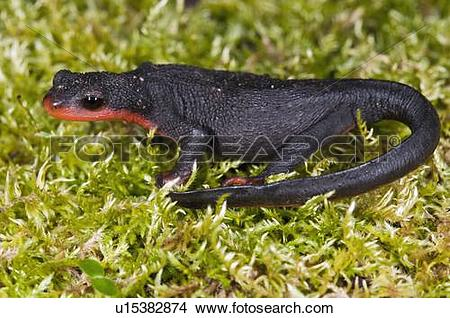 Red Bellied Newt clipart #18, Download drawings