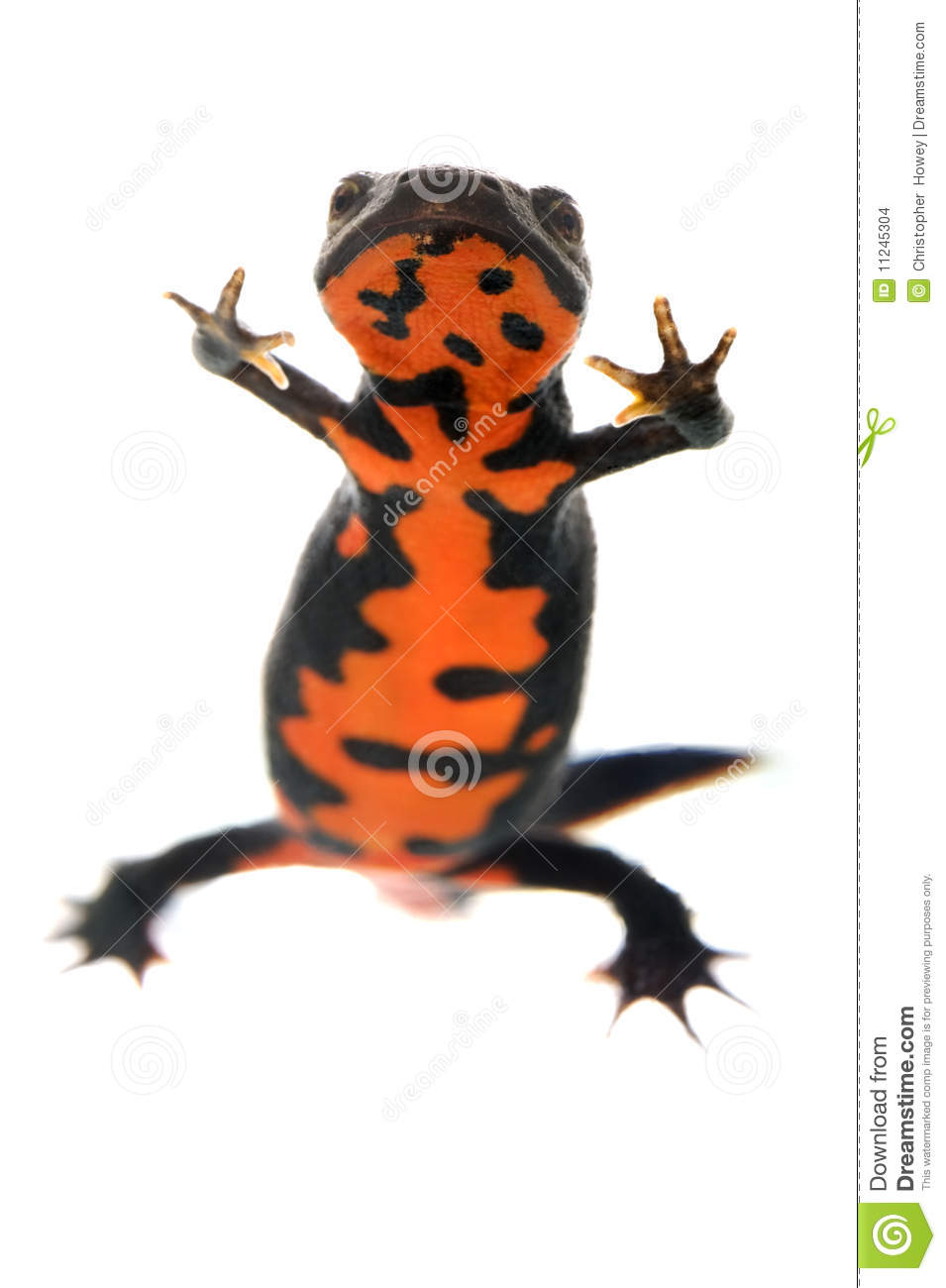 Red Bellied Newt clipart #19, Download drawings