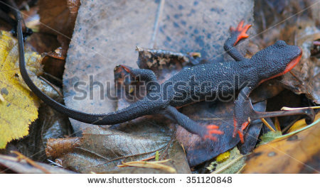 Red Bellied Newt clipart #15, Download drawings