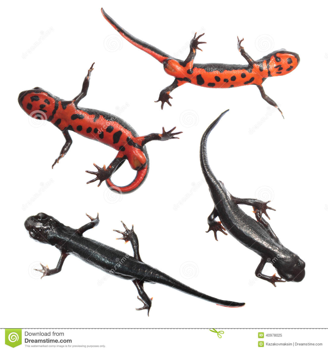 Red Bellied Newt clipart #13, Download drawings