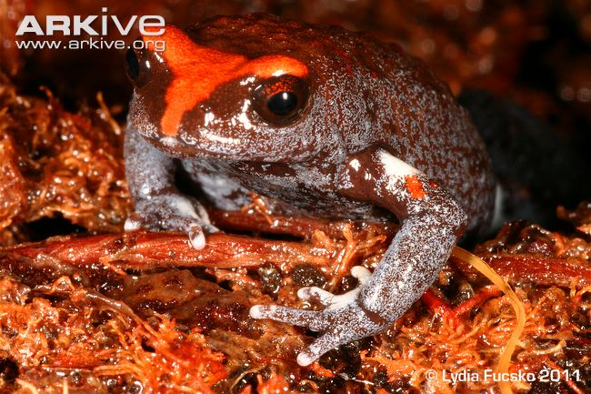 Red Crowned Toadlet clipart #15, Download drawings