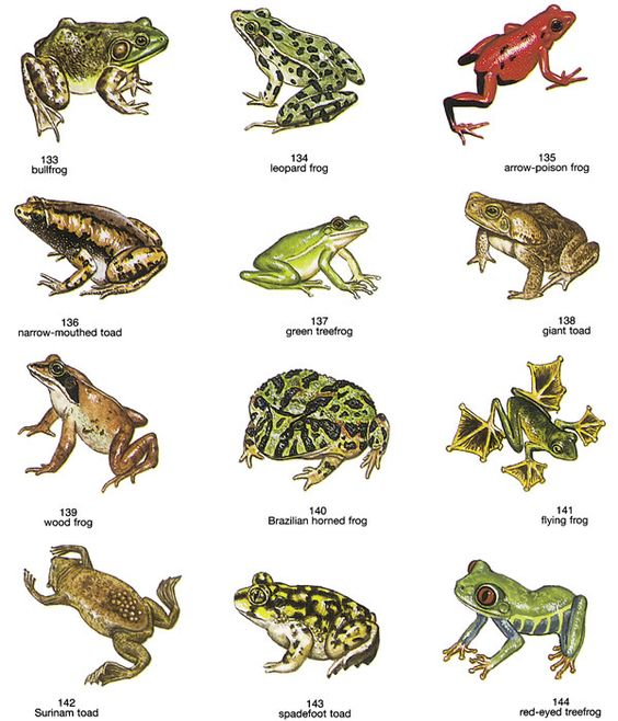 Red Crowned Toadlet clipart #8, Download drawings