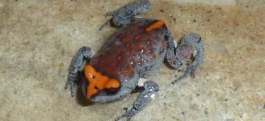 Red Crowned Toadlet clipart #4, Download drawings