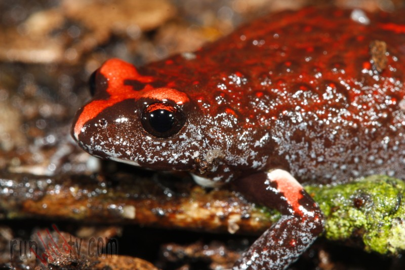 Red Crowned Toadlet clipart #3, Download drawings