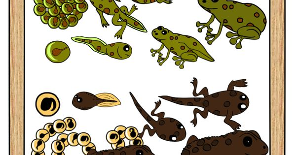 Red Crowned Toadlet clipart #16, Download drawings
