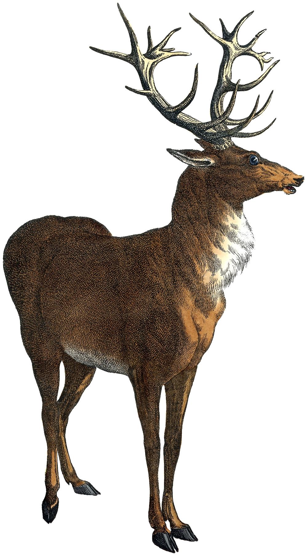 Red Deer clipart #2, Download drawings