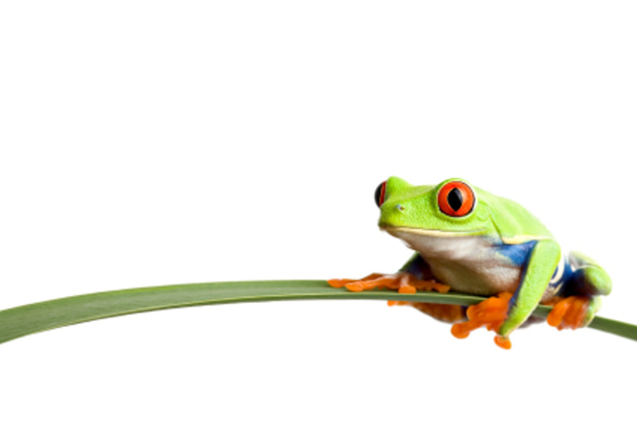 Red Eyed Tree Frog clipart #2, Download drawings