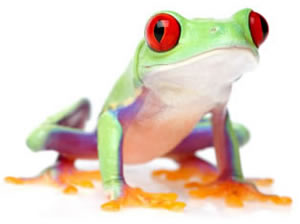 Red Eyed Tree Frog clipart #16, Download drawings