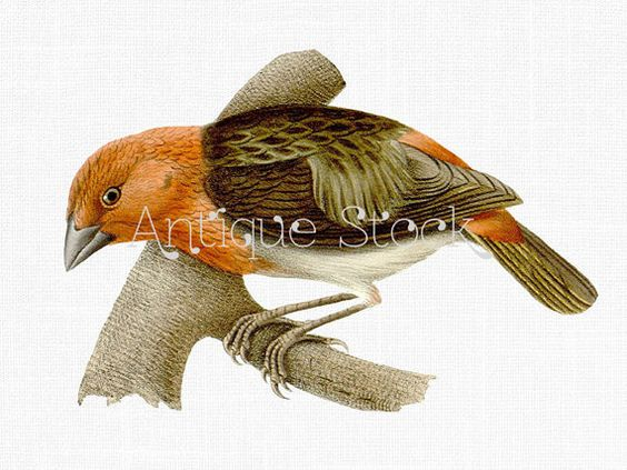 Red Headed Finch clipart #11, Download drawings