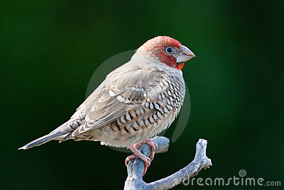 Red Headed Finch clipart #1, Download drawings