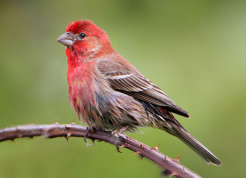 Red Headed Finch coloring #1, Download drawings