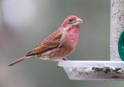 Red Headed Finch coloring #7, Download drawings