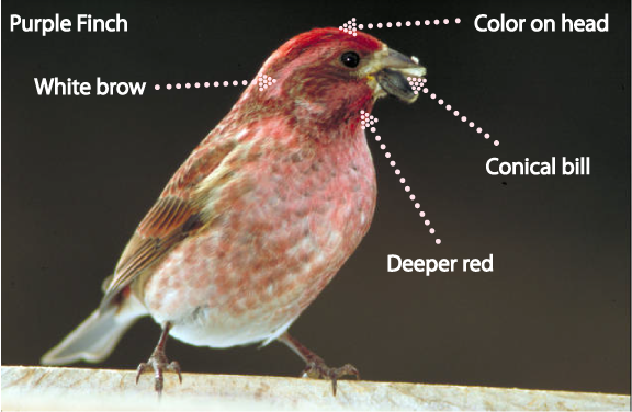 Red Headed Finch coloring #19, Download drawings