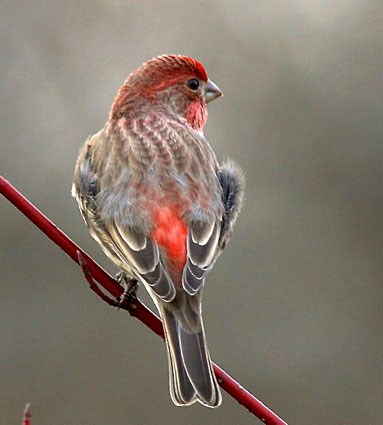 Red Headed Finch coloring #11, Download drawings