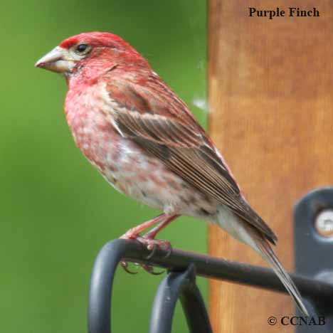 Red Headed Finch coloring #12, Download drawings