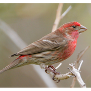 Red Headed Finch coloring #18, Download drawings