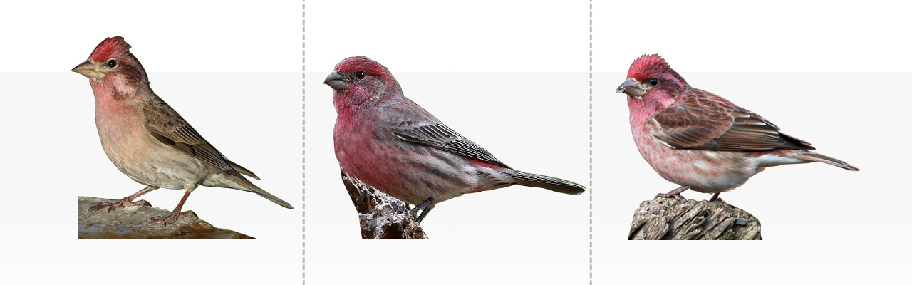 Red Headed Finch coloring #15, Download drawings
