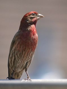 Red Headed Finch coloring #3, Download drawings