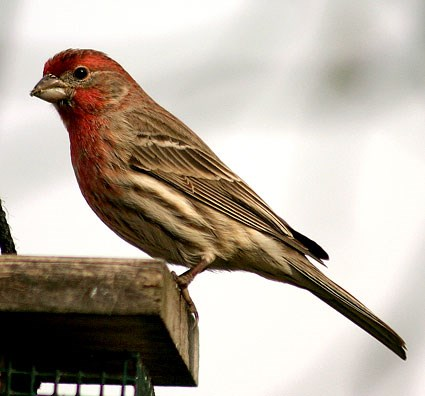 Red Headed Finch coloring #5, Download drawings