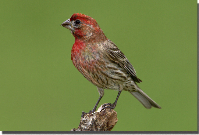 Red Headed Finch coloring #14, Download drawings