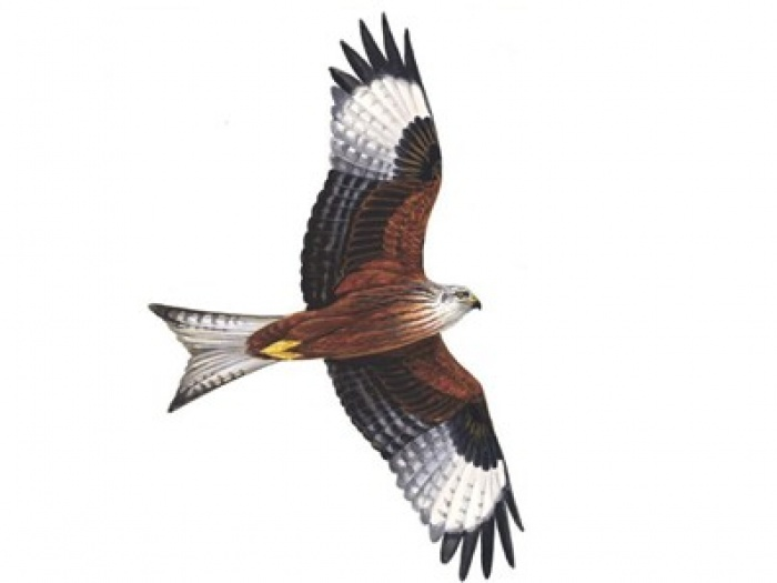 Red Kite clipart #3, Download drawings