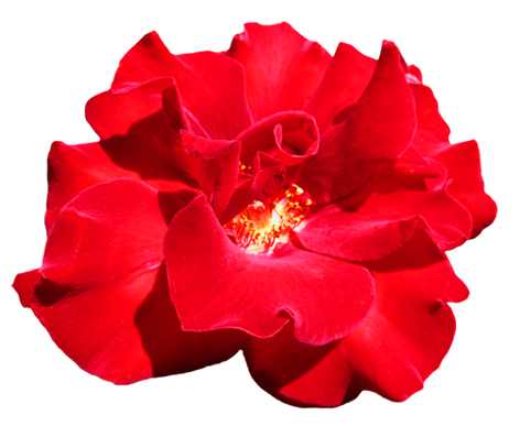 Red Rose clipart #6, Download drawings