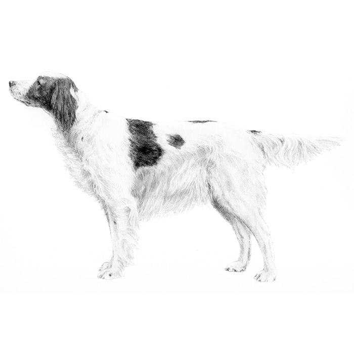Red Setter svg #8, Download drawings