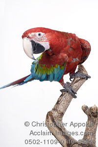 Red-and-green Macaw clipart #4, Download drawings